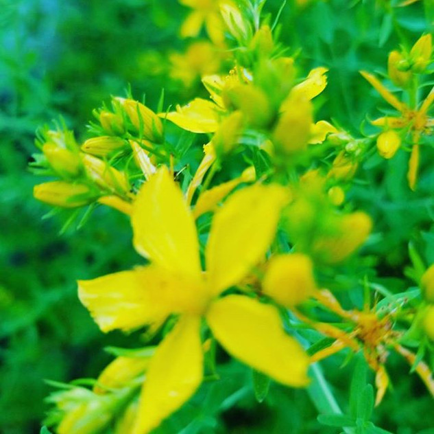StJohn's Wort is ready to cut and dry fo