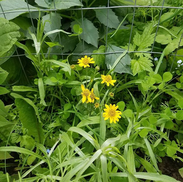 Arnica in bloom just starting