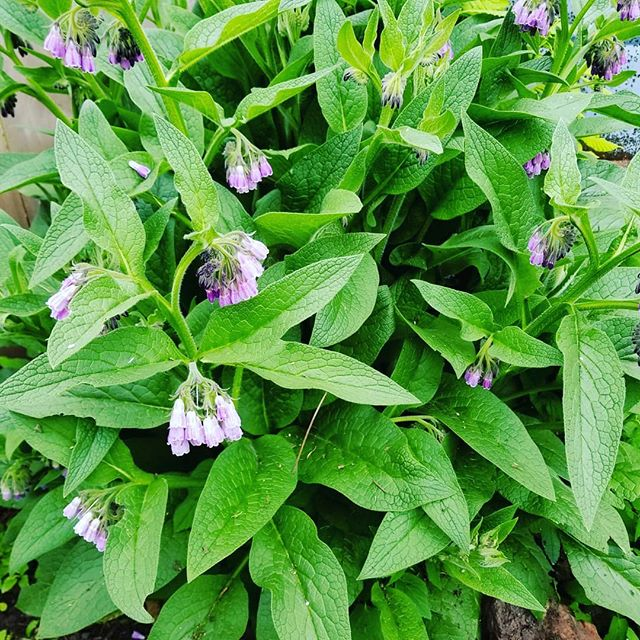 Comfrey is ready for picking and drying.