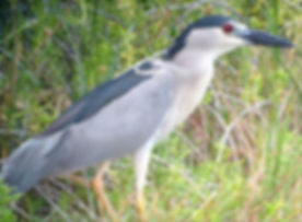 #BlackCrownedNightHeron #Aukuu #BirdwatchHawaii #ManuConservation