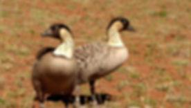 Nene, Hawaiian Goose _ Haleakala National Park