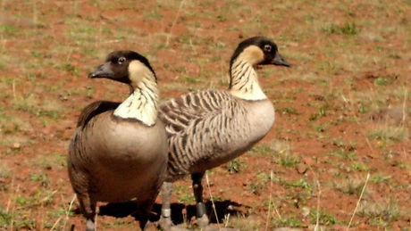 Nene, Hawaiian Goose _ Haleakala National Park