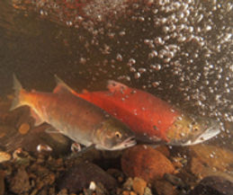Pair of adult Kokanee