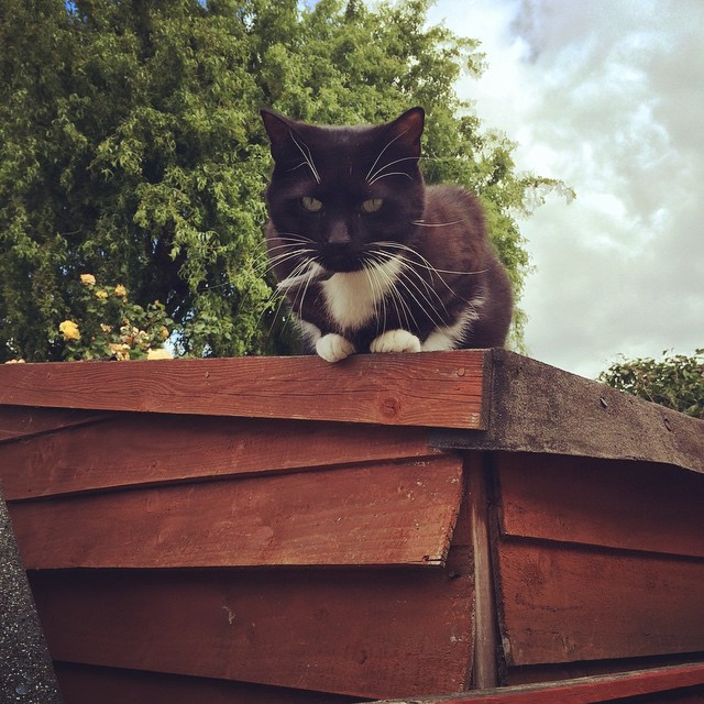 Scrumpy keeping an eye on things #IntheNUGsGarden #Garden #Gardening #CatsofInstagram #Cats #Organic
