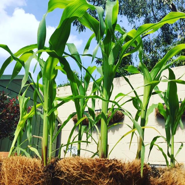 Sweetcorn plants in the sunshine