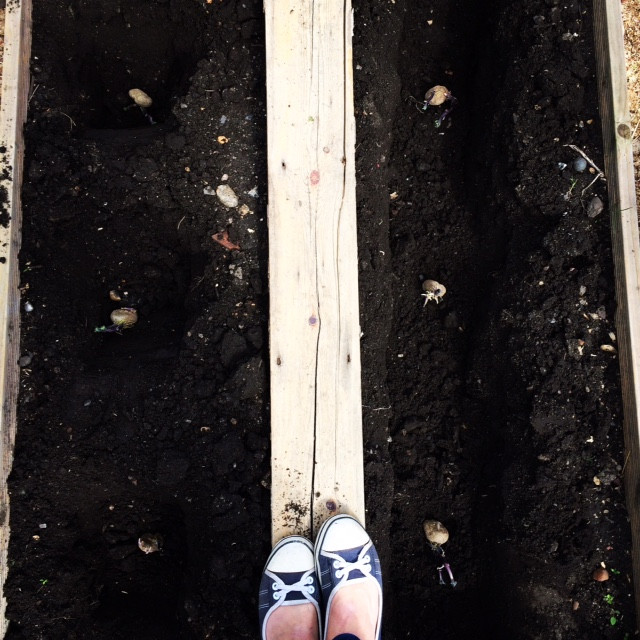 Potatoes being planted