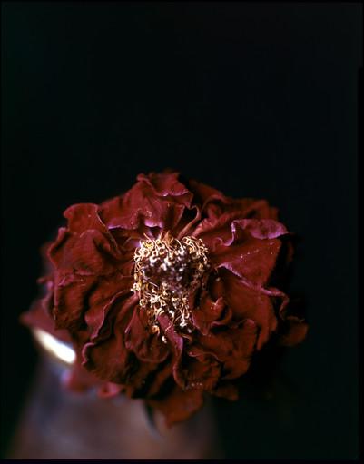 flowerredoresize (1 of 1).jpg