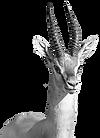צבי ארץ ישראלי