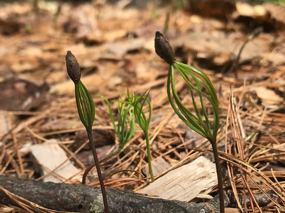 Close up of white pine seedlings with its first leaves billowing under its seed.