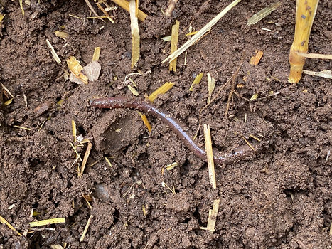 An earthworm on dark soil with bits of straw.