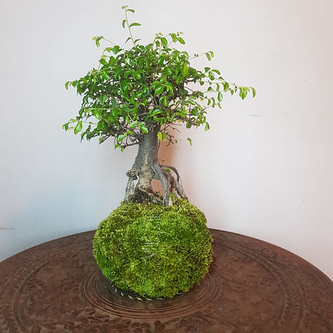 Kokedama design tree, rooted on green ball of soil and moss.