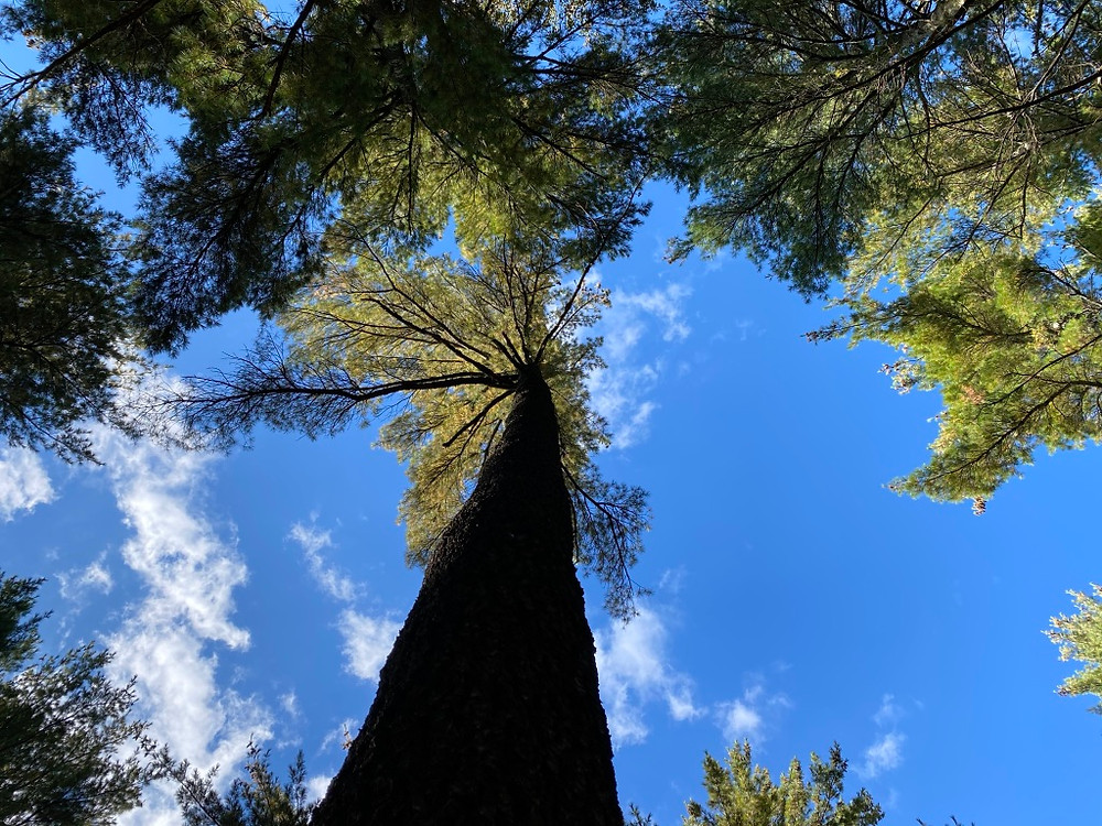 Long tree trunck of tall White Pine with its canopy melding with other trees against a blue sky with a few dispersed white clouds