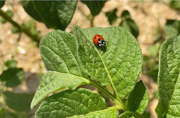 Close-up of a ladybug on a green leaf.