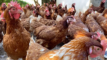 Chickens outside at Biomass Organic Farm in Batroun.
