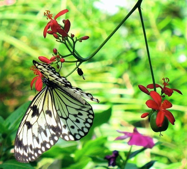 Butterfly in the Bahamas