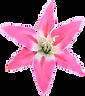 Lily-de-rosa