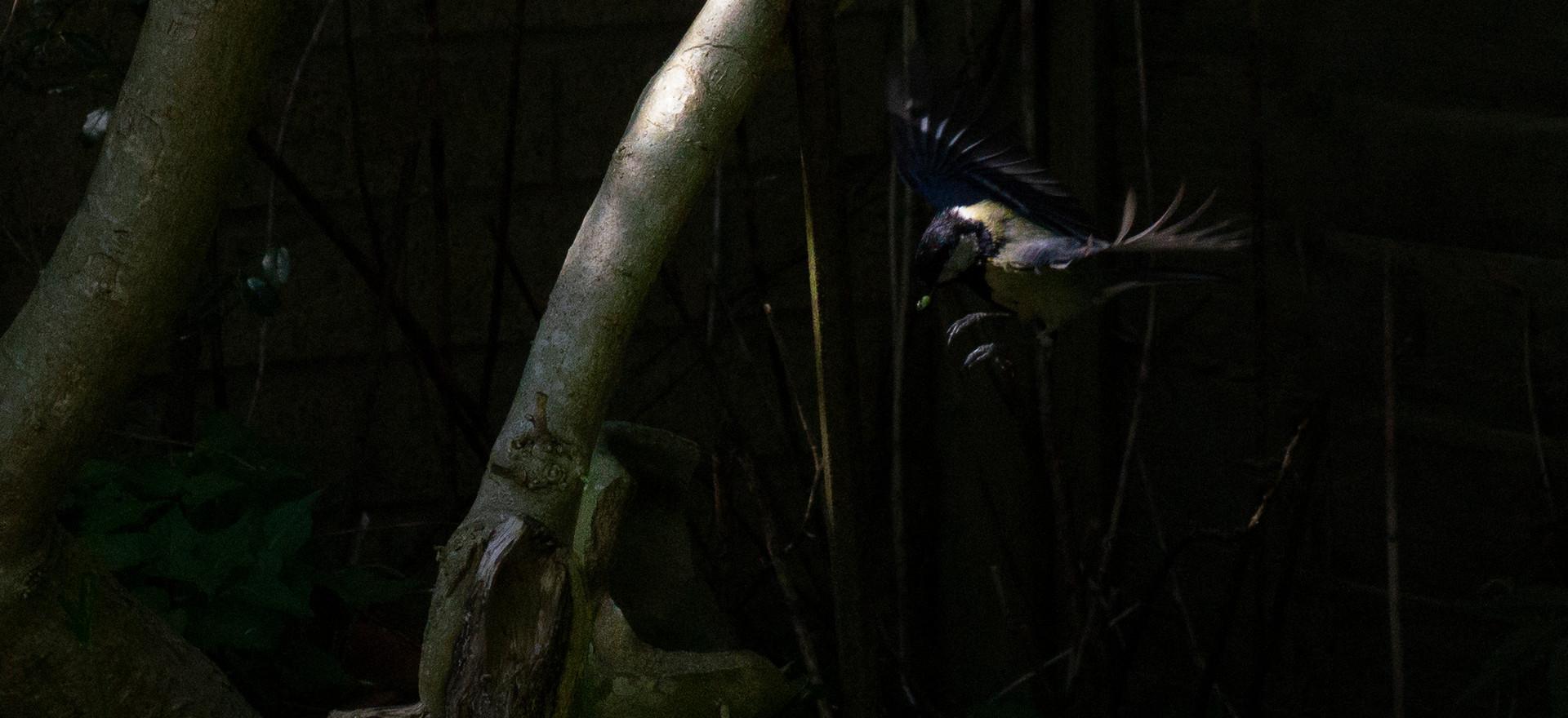 Blue Tit nesting in garden ornament vase.