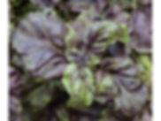 red lettuce leaf.jpg