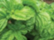 lettuce leaf.jpg