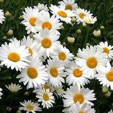 shasta daisy.jpg