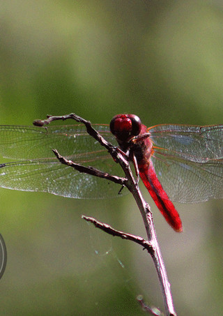 Name: Tropical King Skimmer Place Photographed: Habitat: native to the Americas, where its distribution extends from the United States to Brazil ICUN Red List Status: Least Concerned