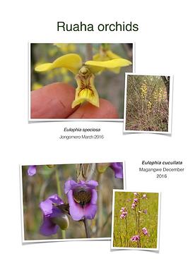 Ruaha Orchids