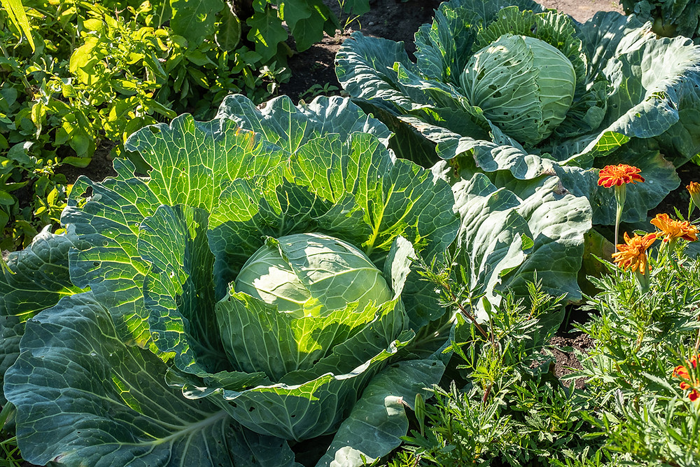 Two heads of cabbage in a community garden