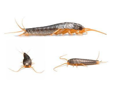 Three Silverfish