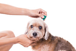 Tick And Flea Prevention For A Dog.jpg