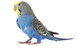 Bird Control - Budgerigar on white.jpg