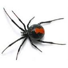 Redback+Spider.png