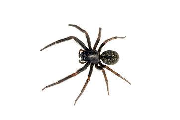 Black House Spider on white background.j