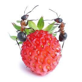ants on strawberry.jpg