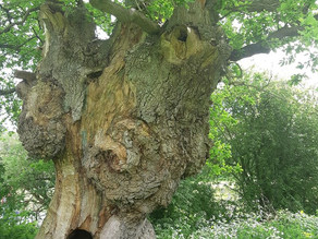 Save The Oaks and Plant Forests with Ancient and Sacred Trees