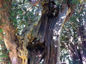 Sacred Trees Sacred Places