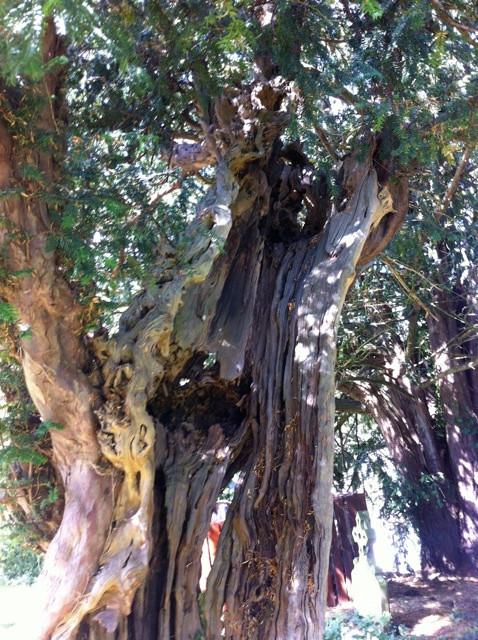 Ancient Yew Tree, Barthomley, Cheshire,
