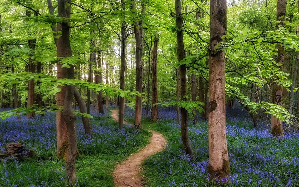 Beech woodland with blue bells underneath