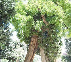 The French Declaration of Tree Rights