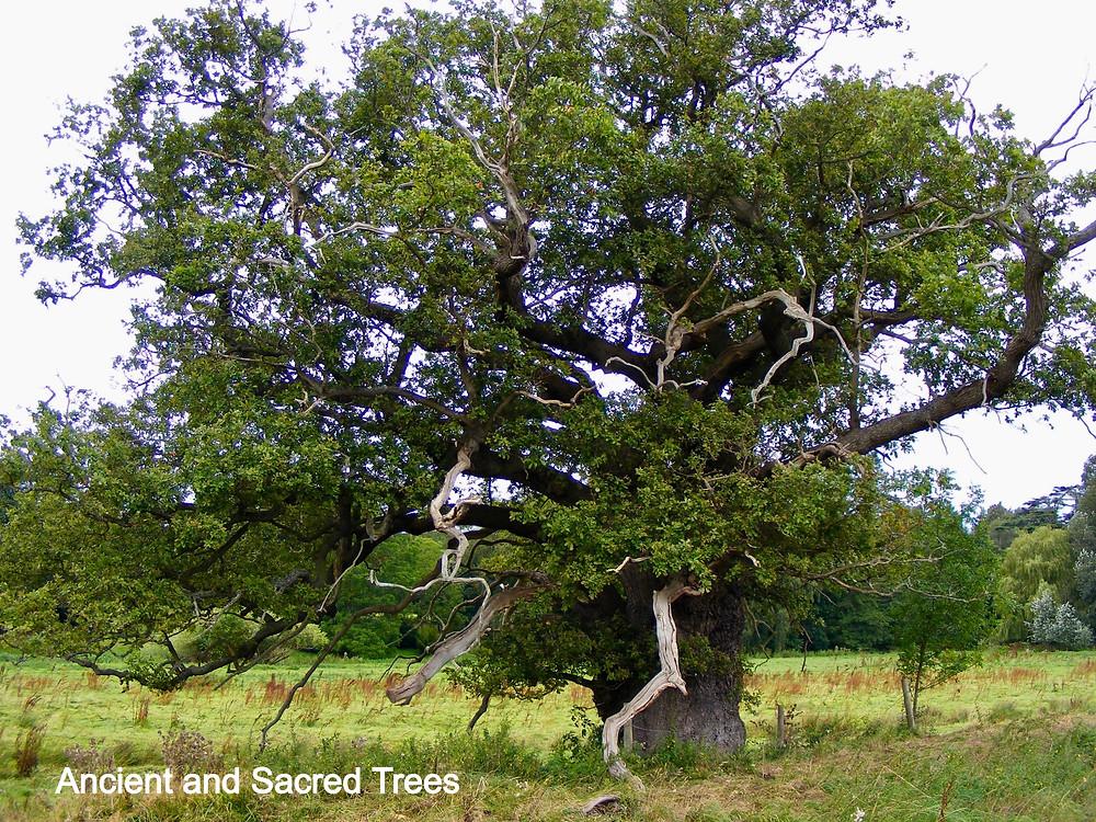 Ancient Oak Tree in Attingham Park