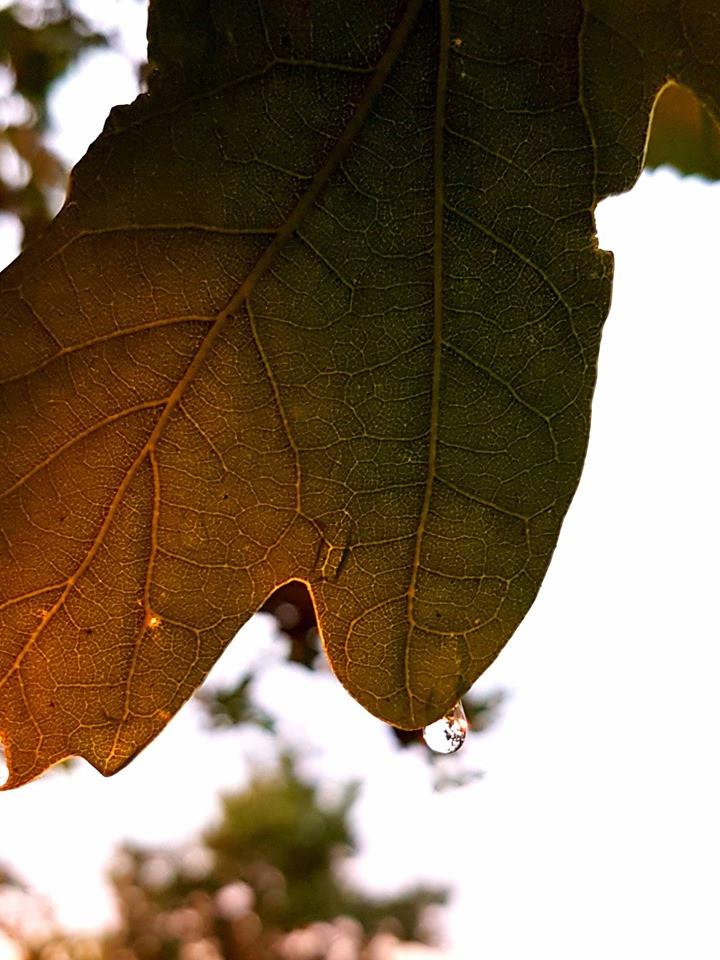 rain drop on oak leaf