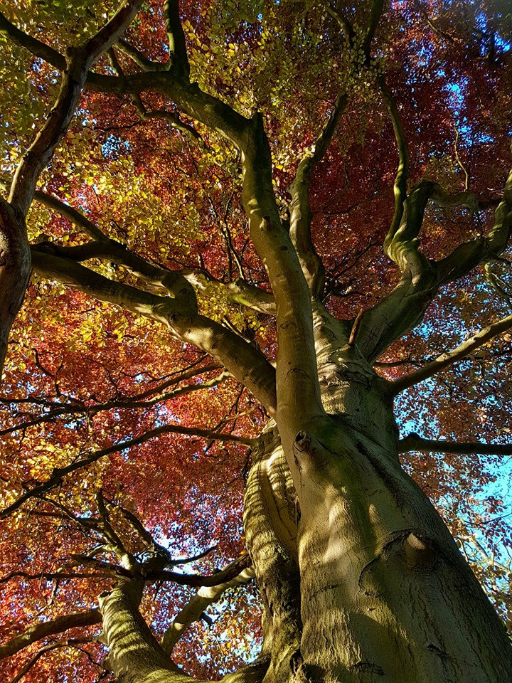 Sunlight on Copper Beech tree. Ancient and Sacred Trees