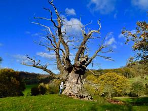 Honouring The Whiteleaved Oak