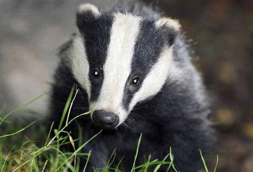 Our Hero Badger The Eco Warrior