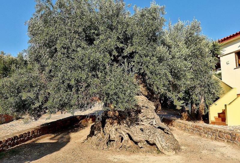 Ancient olive tree Vouves