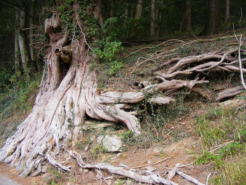 Yew Tree Roots
