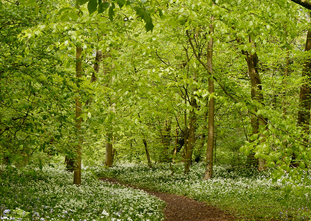 Wild garlic flowers under beech trees