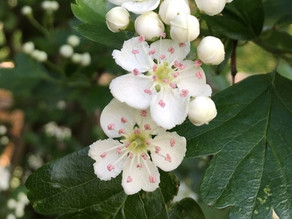 Hawthorn Queen of the May