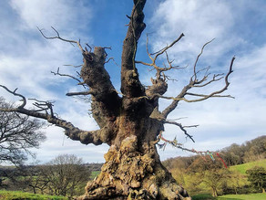 The Sacred Whiteleaved Oak - Part 1