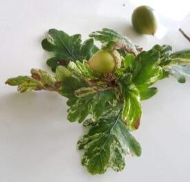Quercus Robur Albomarmarata acorn