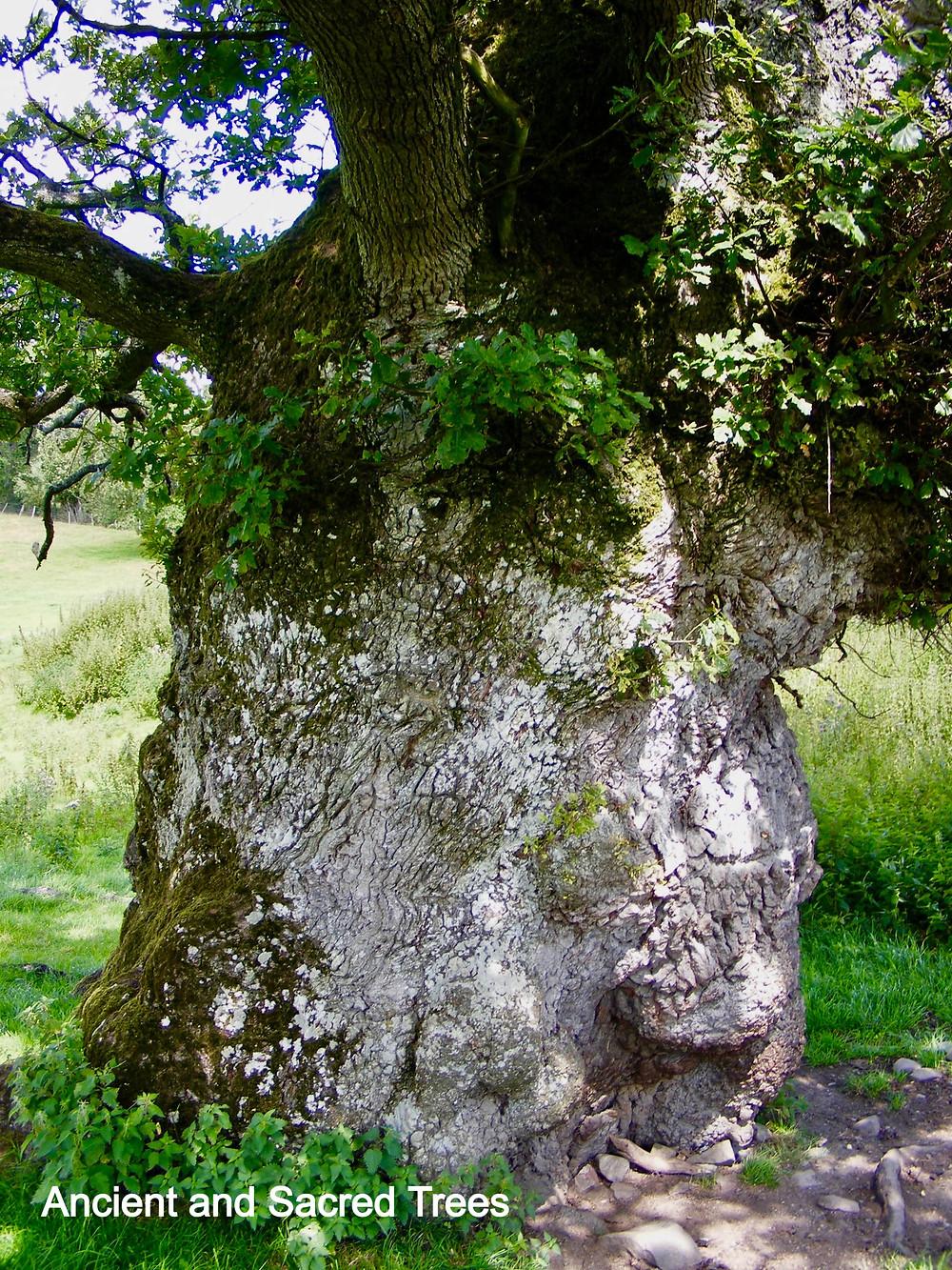 Ancient Oak Tree Near Chirk in Wales